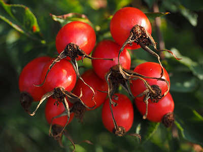 rose hip rosehips foraging forage forager free food in the wild october thrifty sustainability