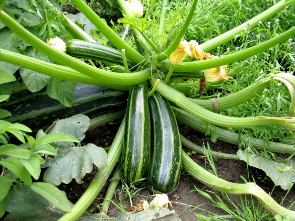 grow your own zucchini courgette plant vegetables self-sufficient lifestyle thrifty sustainability