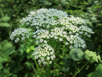 Ground Elder forage foraging in Spring uk free food wild thrifty sustainability save money