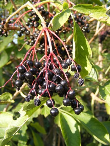 Elderberry syrup recipe elderberries home remedy home remedies thrifty
