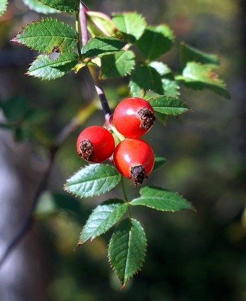 rose hip syrup recipe rosehips home remedies home remedy thrifty