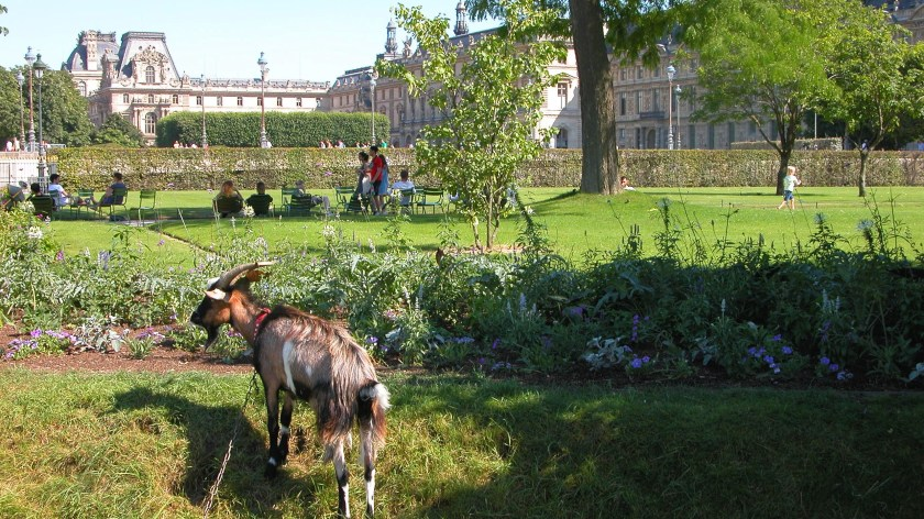 Goats in the park