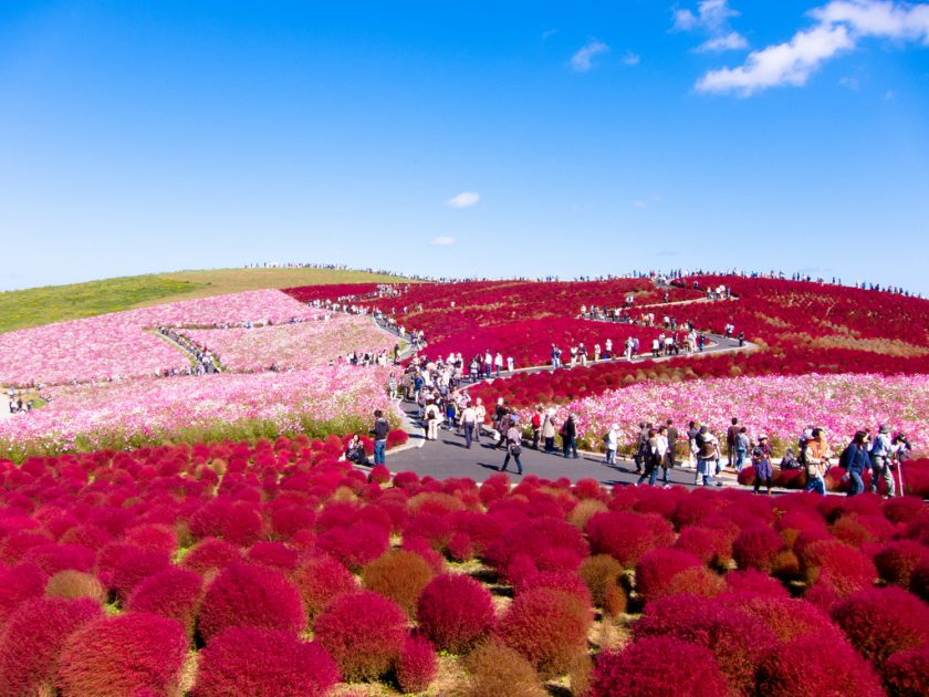 Hitachi Seaside Park, Japan