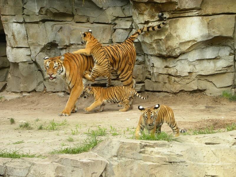 Endangered Malayan Tiger Cubs and Mom on Jungala Habitat