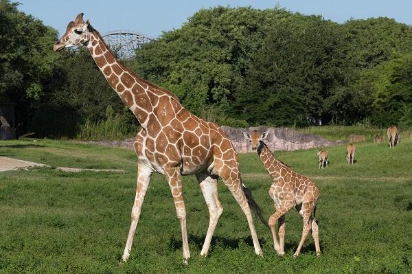 Busch Gardens Tampa - Baby Giraffe