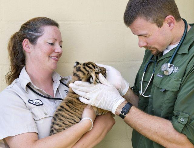 tiger.cub