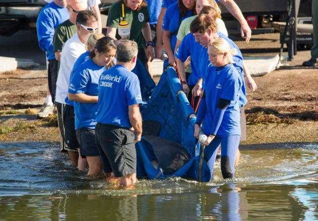 SeaWorld Orlando Returns Manatee After Months of Rehabilitation