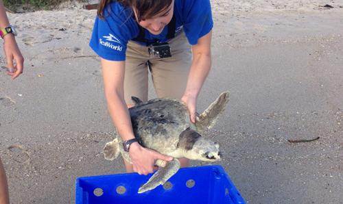 SeaWorld Orlando Returns Kemp's Ridley Sea Turtle_1