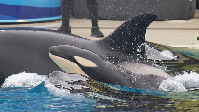 Baby+killer+whale+1202
