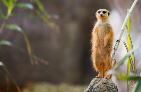meerkat_01-450x293