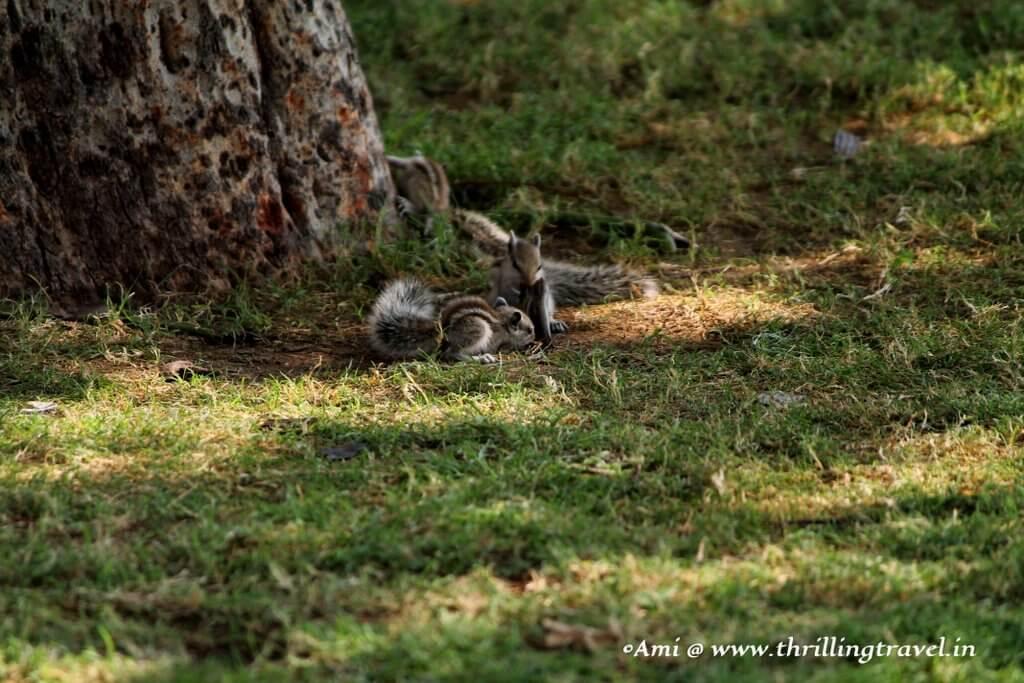 Playful Squirrels at Jaswant Thada