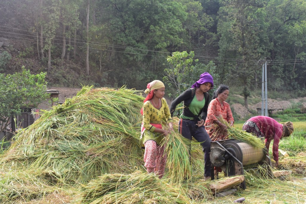Nepali farmers harvesting paddy in Nuwakot