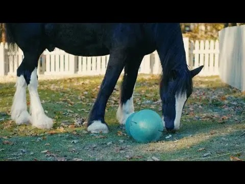 Aiden & Dustin the Clydesdale Horses | Animal Spotlight