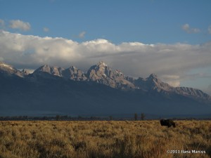 Moose in front of the Tetons - There are 3. Can you find all of them?