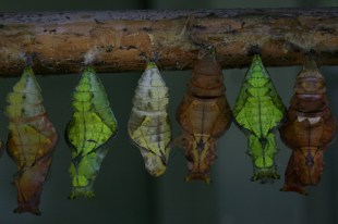 Glorious, glorious chrysalis(es?) in a row at the otter and butterfly sanctuary in Devon. Otters and butterflies. What more could anyone want in one place?
