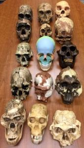 Part of our hominin fossil cast collection used in Evolutionary & Comparative Anatomy