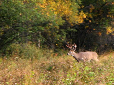 A Trophy White-tailed Deer Leaving A Field, And Like Most Whitetail Bucks, Never Very Far From The Safety Of Brush And Cover.