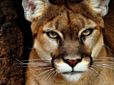 A closeup photograph of the eyes of a mountain lion