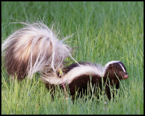 A striped skunk on the prowl in green grass, ready to spray if threatened.