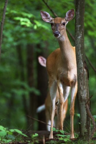 A doe white-tailed deer on alert, watches for movement.