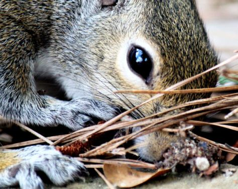 A Gray Squirrel Noses Around The Leaves And Pine Needles and Forest Duff For Food; A Common Sight For White-Tailed Deer Hunters Across America
