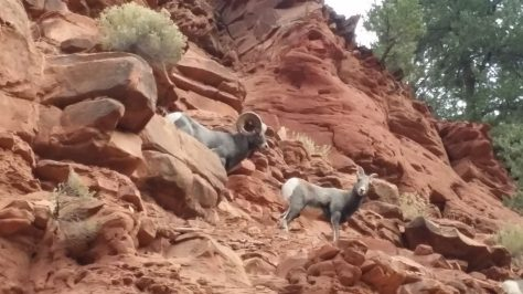 A video clip of a small band of bighorn sheep on the red cliffs above the frying Pan River near Basalt, colorado in bighorn sheep hunting unit S44