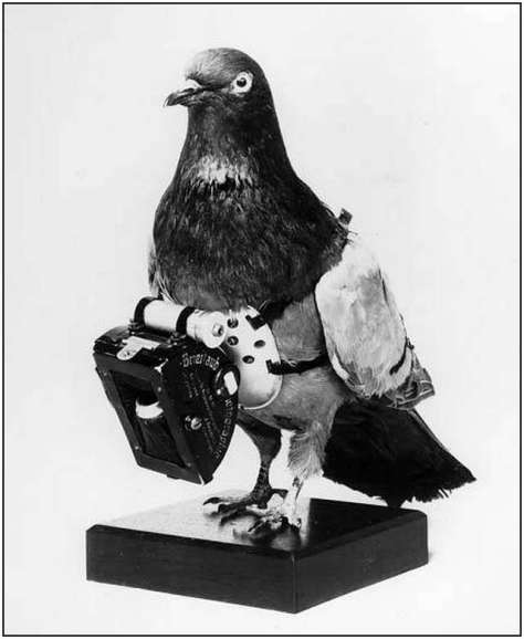 A humorous photograph of a carrier pigeon with chest mounted carrying strap and equipment