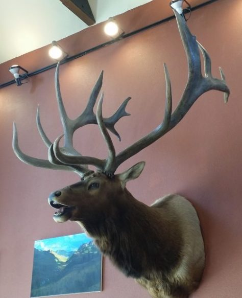 The John Plute Bull. A former Boone Crockett World Record Elk. Found now hanging at the Crested Butte, Colorado Chamber of Commerce