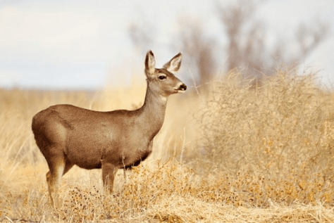 A Mule Deer Doe Strikes a Pensive Pose Against A Background of Grass and Brush, Somewhere in the West