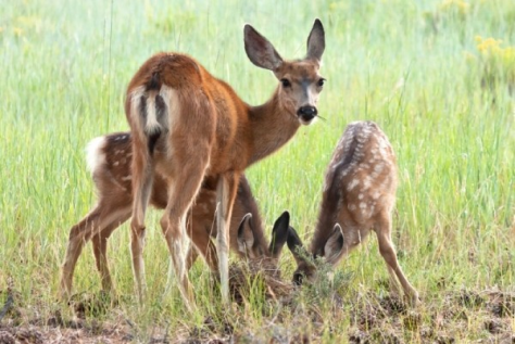 A Mule Deer Doe Watches Over Her Two Young Fawns In The Green Grass Of Summer
