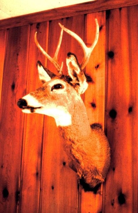 A Photograph of a mount of a white-tailed Deer 6 point buck, taken with a shotgun and slug in Maryland in the early 1970's