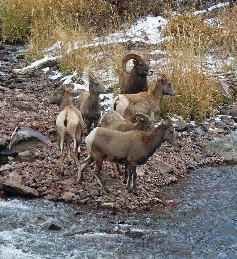 Photograph of a small band of bighorn sheep about to enter the Frying Pan River outside of Basalt Colorado in Bighorn Sheep Hunting Unit S44