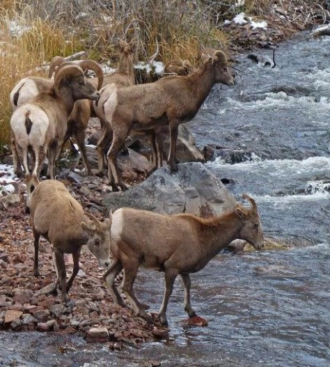 Bighorn Sheep near Basalt, Prepare to enter the Frying Pan River in Colorado's Unit S44