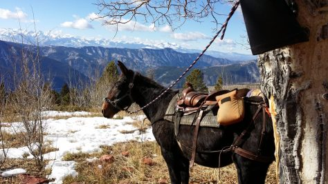 A Pack Mule Poses in Front of the Colorado Snow-Covered Peaks, While on an Elk Hunting Trip On Red Table Mountain, Near Basalt.