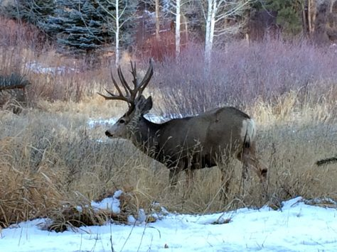 A big mule deer buck feeds in the grass and willow field in the high mountains of western colorado