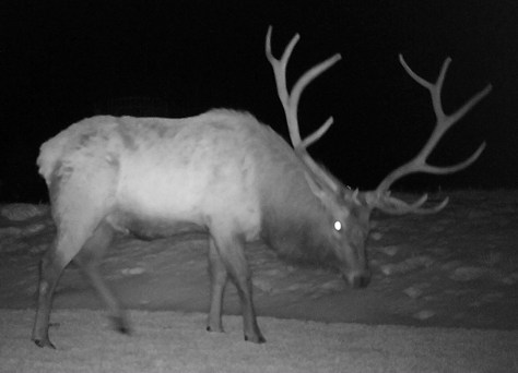 A trophy bull elk caught on a game camera photo in the fall snow of Colorado