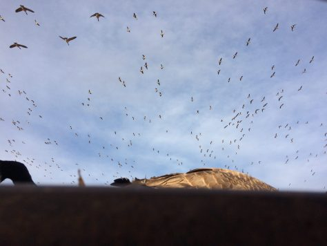 A Large Flock of Canada Geese Circle Above The Decoys From A Pit Blind in Northern Colorado Near Greeley.