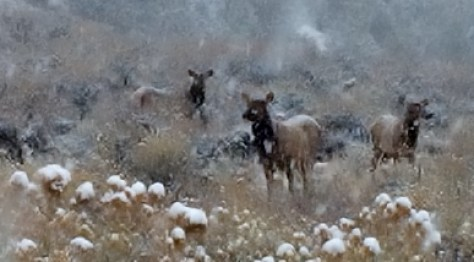 A small Herd of Cow Elk Weave In And Out of the Falling Snow During a November Storm in the Rocky Mountains. Photograph  by Michael Patrick McCarty