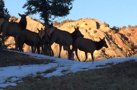 A small herd of cow elk leaving their bedding area to feed in western colorado.