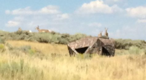 Pronghorn antelope does standing directly behind a ground blind out of site of the hunter