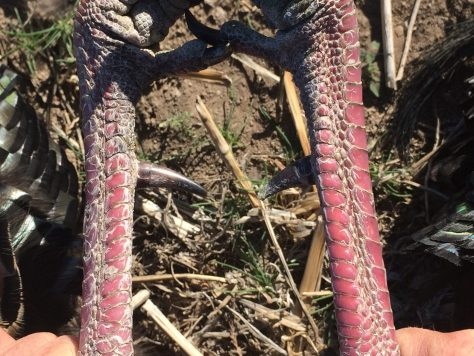 A Close-Up Photo of the Spurs Found on the Legs of a Wild Turkey