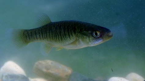The Mummichog (Fundulus heteroclitus), otherwise known as the Killifish, or Killie - The Best Fishing Bait for Flounder, or Fluke