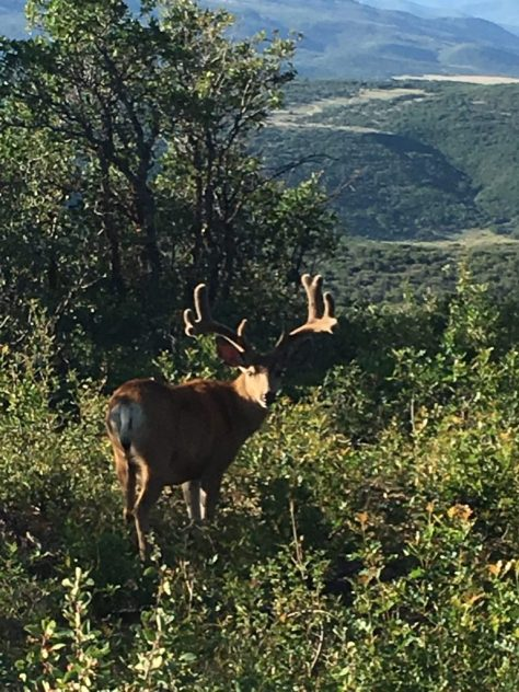 A wide framed, trophy class mule deer buck stands in the brush in the late afternoon sun in the mountains of western colorado.