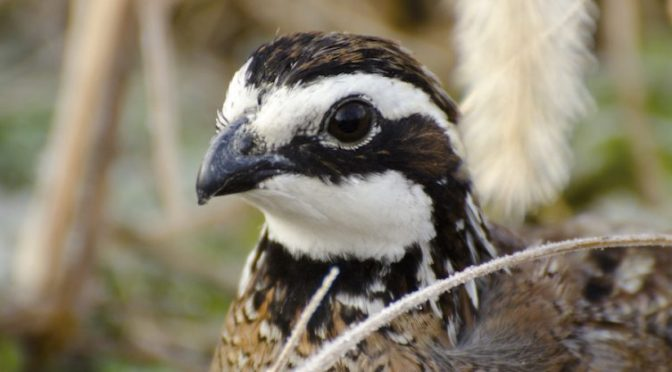 Flying Proud – The National Bobwhite Conservation Initiative