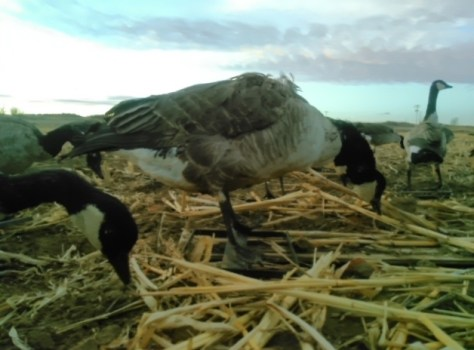A Close-up of Taxidermy Stuffed Canada Goose Decoys, Set Up Around On Pit Blind On Hunting Trip Near Greeley, Colorado. Photograph By Michael Patrick McCarty
