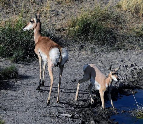 A Doe And Fawn Pronghorn Antelope Visit A Waterhole For An Early Morning Drink In The Red Desert of Colorado. Photograph By Michael McCarty