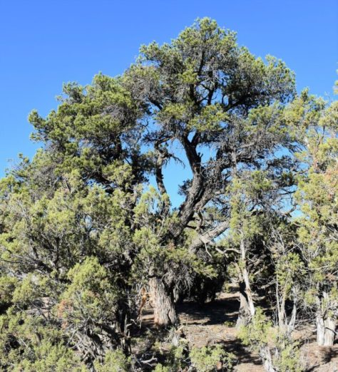 A Classic Example of Pinyon Pine, Found In The Pinyon-Juniper Forest of Western Colorado. Photograph By Michael Patrick McCarty