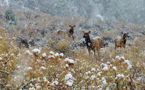 A Small Herd Of Cow Elk Feed Quietly In The Snows Of A Harsh Winter Storm In Western Colorado