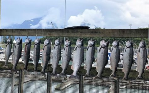A Long Rack of Silver Salmon Caught By Sportsfisherman, On Display In A Boatyard Under The Mountains, Near Valdez, Alaska