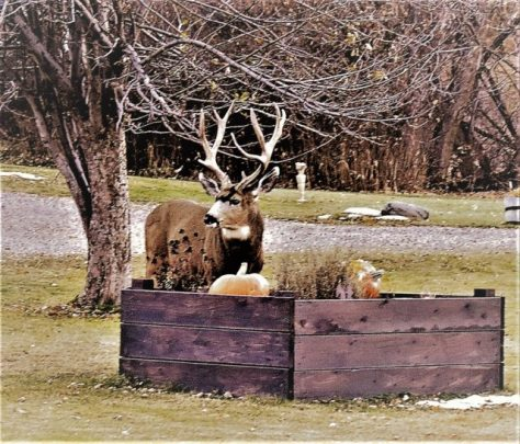 A Trophy Class Mule Deer Buck Poses On The Lawn Of A Suburban Neigborhood, Nezt To A Raised Flower Bed, With Pumpkins Left Over From Holloween. Photography By Michael Patrick McCarty